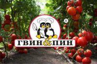 pomidory_v_teplice12